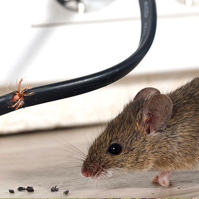 Mice & Rat Removal Service