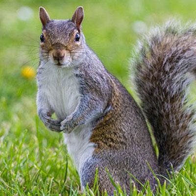 Squirrel Removal Service