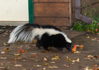 Skunk trenching around shed perimeter