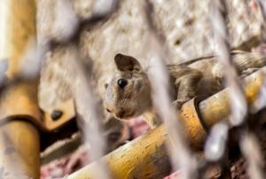Rat Control Orillia