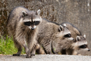Wildlife Removal Barrie