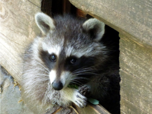 Raccoon Removal Barrie