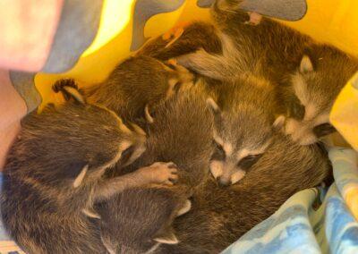 More raccoon babies (older kits)