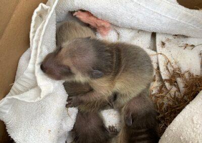 Raccoon kits